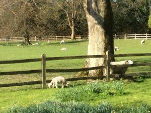 escapee lambs