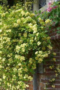Rosa Banksiae Flora Plena