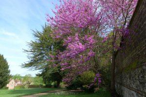 The Judas Tree by the walled kitchen garden