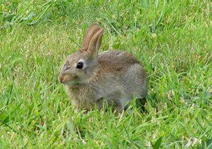 A_Wild_Rabbit_at_Lossiemouth_-_geograph.org.uk_-_1441920