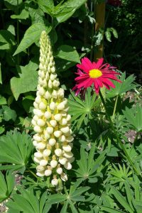 Lupin and pyrethrum