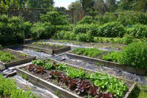 Lovely lettuces - a temptation for any rabbit!